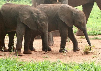 Baby elephants walking at orphanage