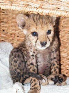 cheetah cub Sylvester