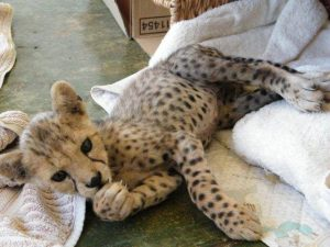 Sylvester the cheetah as a cub