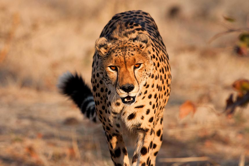 Activities in Victoria Falls - Sylvester the cheetah