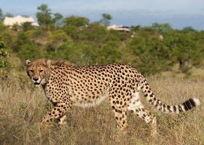 Sylvester the Cheetah fully grown