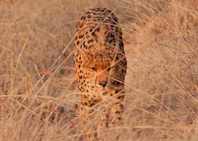 Sylvester the cheetah walking in the tall grass