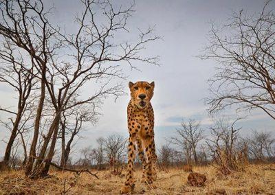 Sylvester the cheetah ambassador