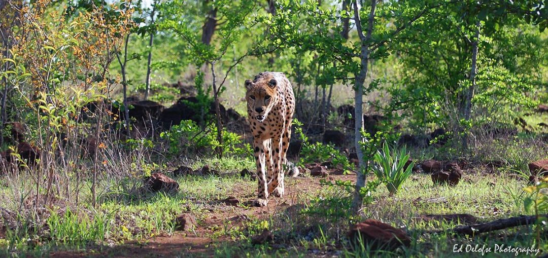 Sylvester the cheetah at The Elephant Camp