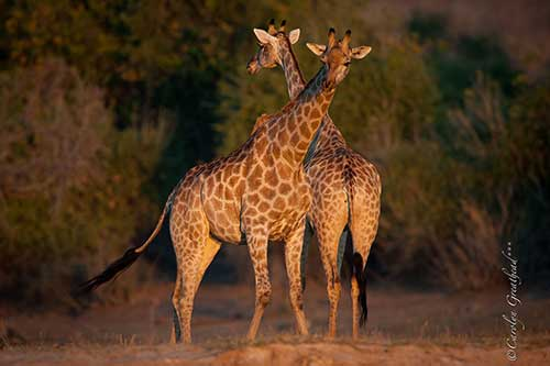 Safari Packages - viewing giraffes on a game drive